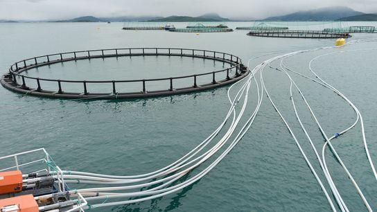 Salmones de acuicultura