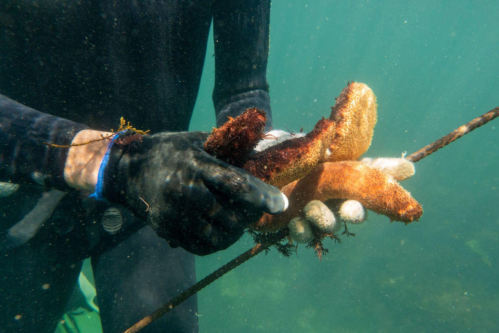 Pepinos de mar