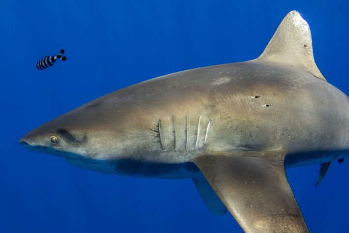 Tiburón oceánico
