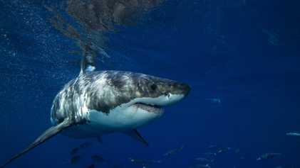 ¿Qué mata a los tiburones blancos jóvenes de California y México?