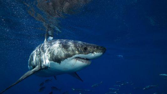 Avistado un tiburón blanco en el archipiélago de Cabrera