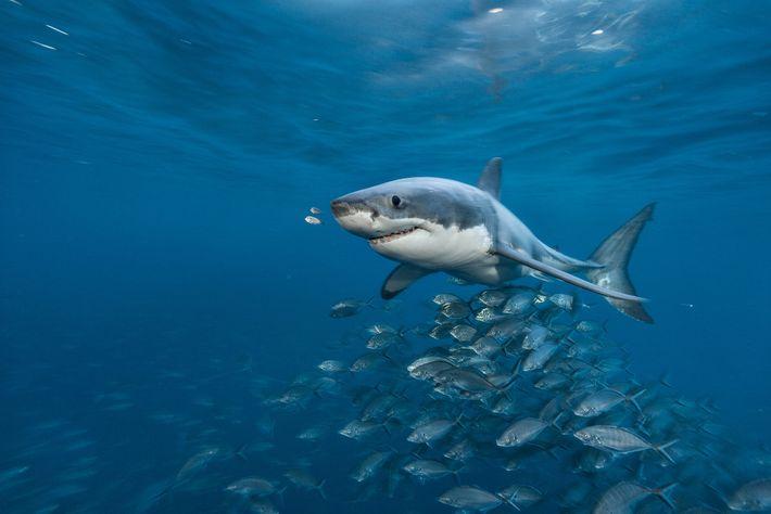 Fotografía de un tiburón blanco