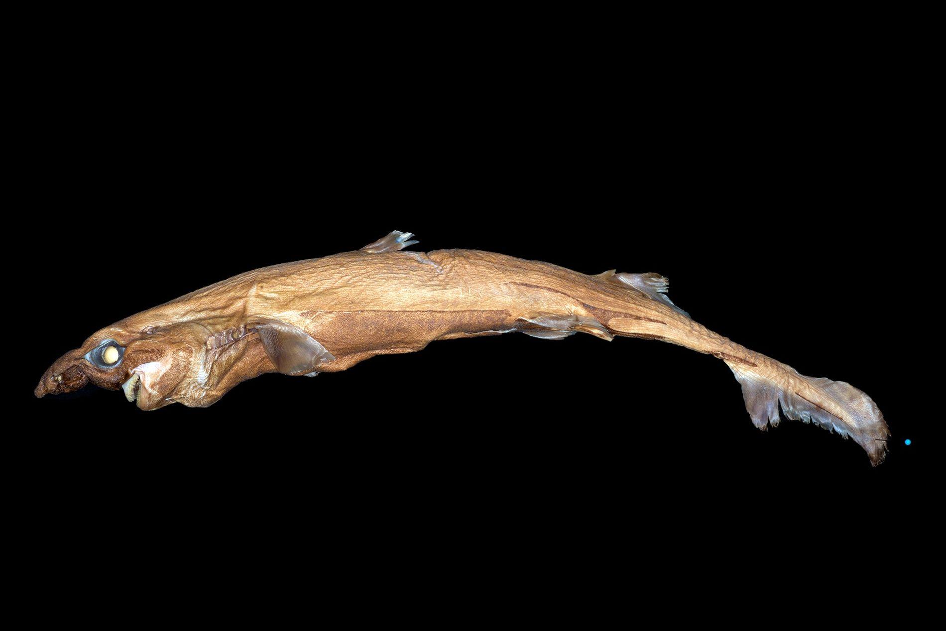 Nueva especie de tiburón linterna