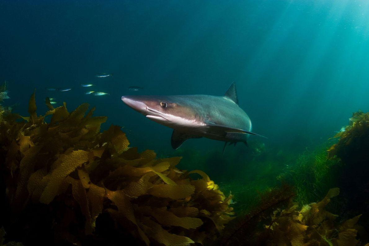 Tiburón vitamínico