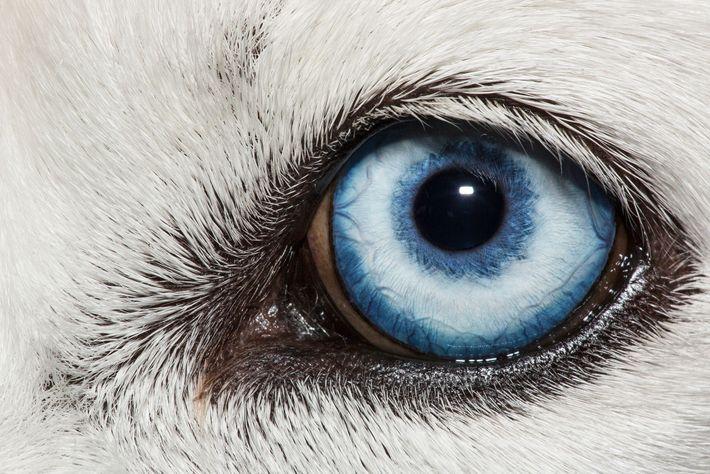 El ojo azul de un husky