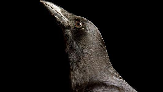 Las aves más inteligentes del mundo