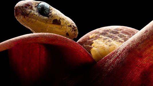 Estas cinco nuevas especies de serpiente succionan a los caracoles de sus conchas