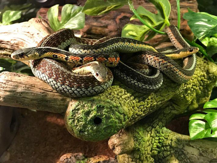 Serpientes de jarretera orientales