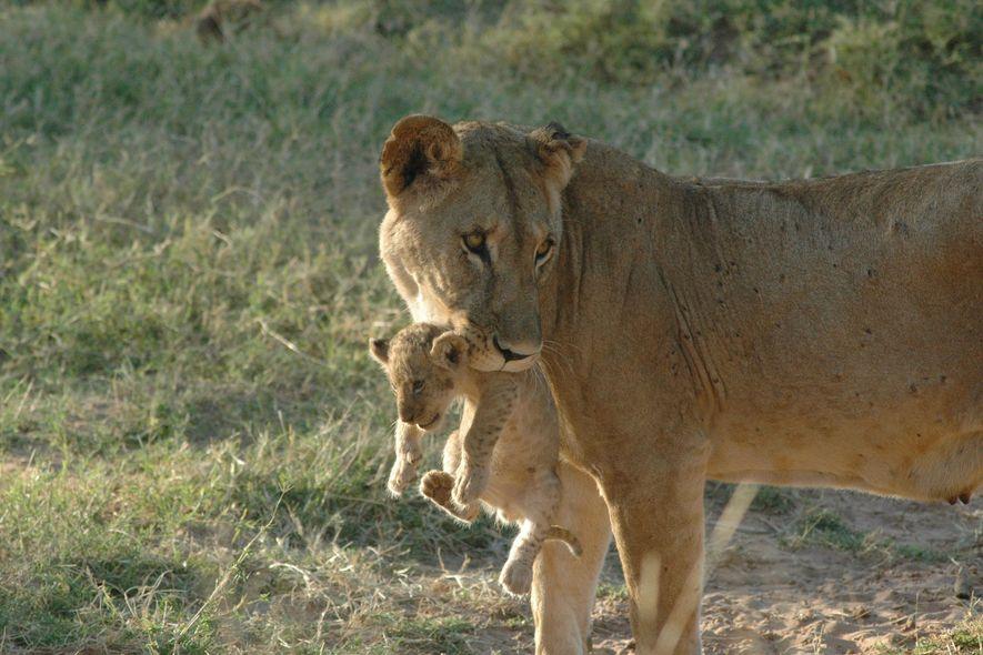 Una leona llamada Uni es una de las leonas solitarias del norte de Kenia.