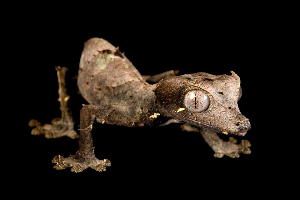 Un gecko cola de hoja satánico