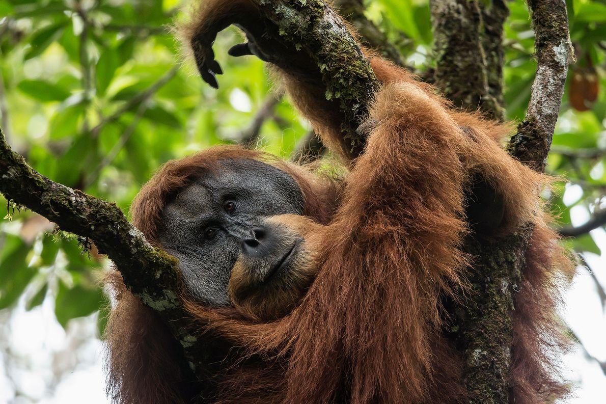 Los simios de Batang Toru están más estrechamente relacionados con sus homólogos de Borneo que a …