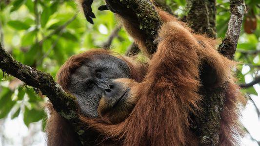 Desde 1999 hemos perdido a casi 150.000 orangutanes de Borneo