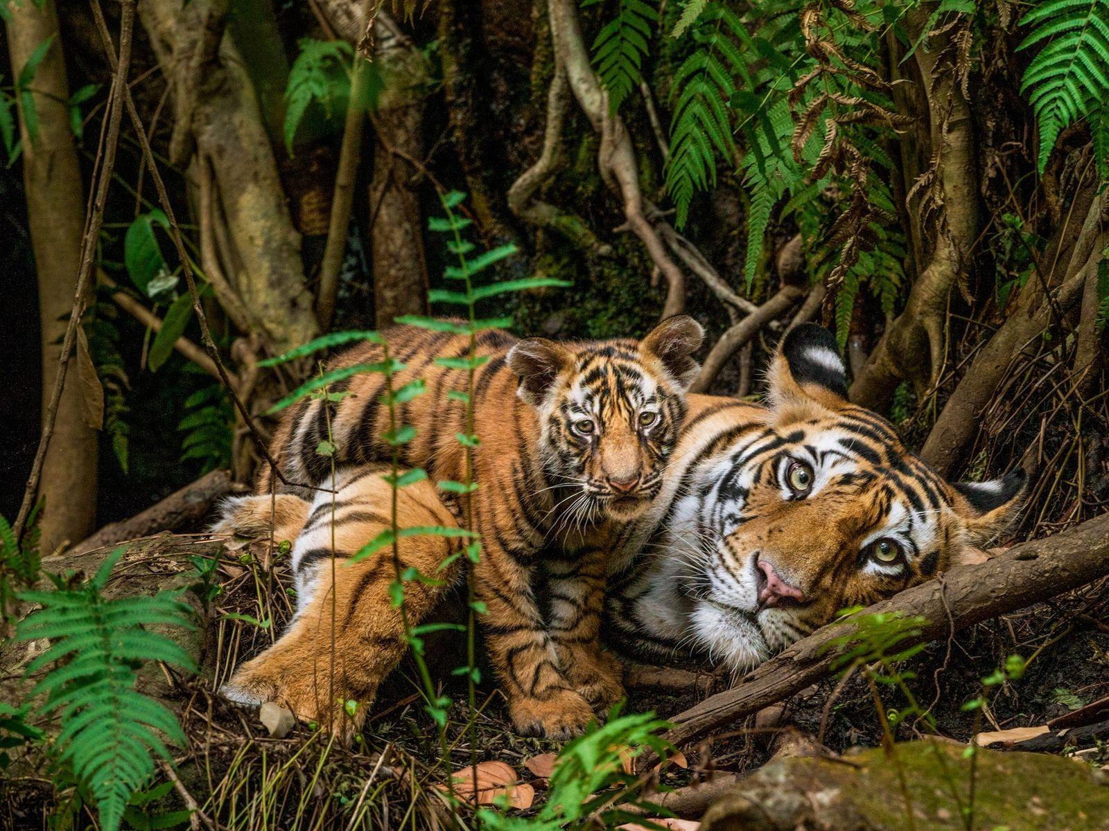 Foto de un tigre y su cachorro