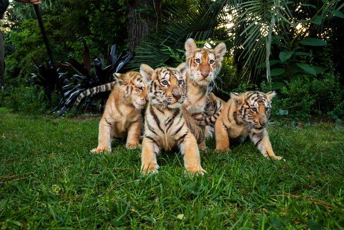Cachorros de tigre y ligre