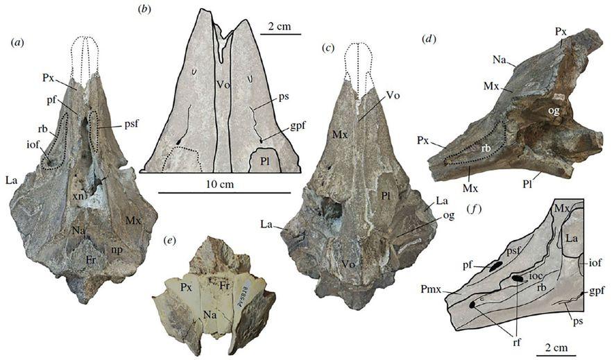 Este diagrama muestra el cráneo fosilizado de la nueva especie de delfín, donde también vemos su hocico corto.