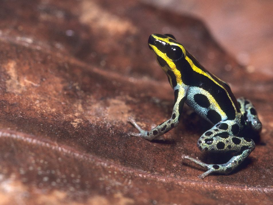 Las ranas venenosas y el misterio de su veneno