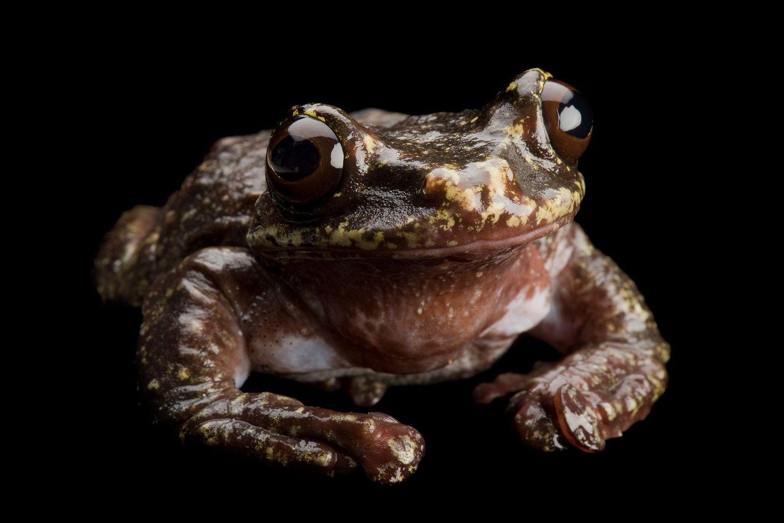 Ecnomiohyla rabborum