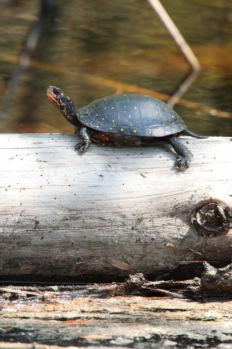 Una tortuga moteada en Carolina del Norte toma el sol en un tronco. Esta especie norteamericana, pequeña y colorida, es una mascota exótica popular en China y en otros países asiáticos, al igual que las tortugas espalda de diamante, las tortugas de caja y los galápagos de bosque.