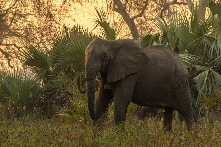Una elefanta sin colmillos