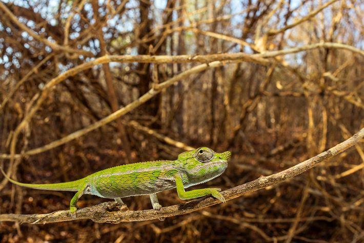 Un camaleón de Laborde