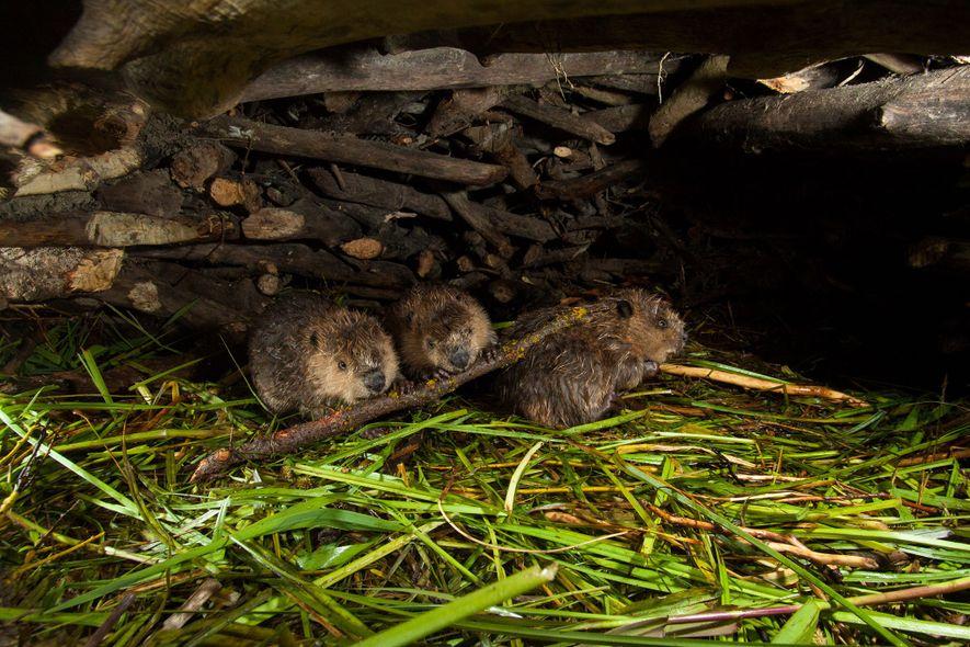 Una familia de castores en su castorera en el parque nacional de Grand Teton.