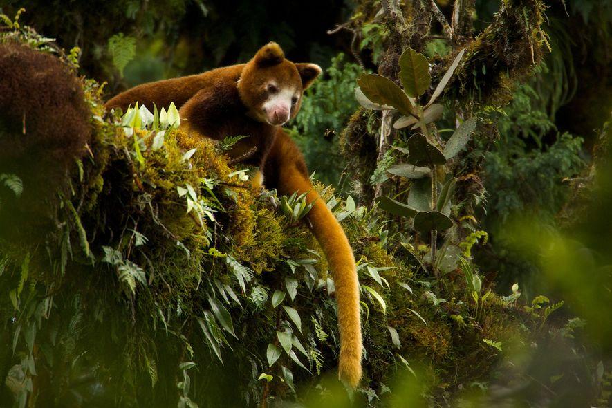 Canguro arborícola de Huon hembra (Dendrolagus matschiei). Su hábitat de bosque nublado es accidentado, escarpado y ...