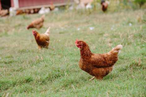 Más del 80% de las gallinas ponedoras viven enjauladas en España
