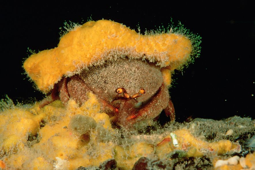Austrodromidia octodentata