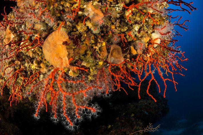 Coral rojo mediterráneo