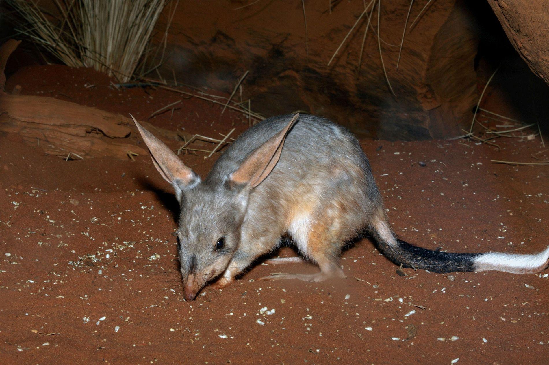 Un bilbi mayor, un marsupial originario de Australia, cava complejas madrigueras para combatir el calor.