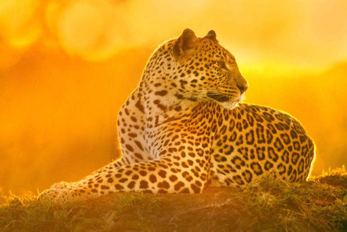 Leopardo hembra