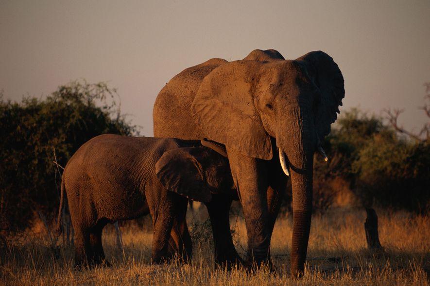 Según algunos conservacionistas, el comercio de pieles de elefante no supone una amenaza significativa para los ...
