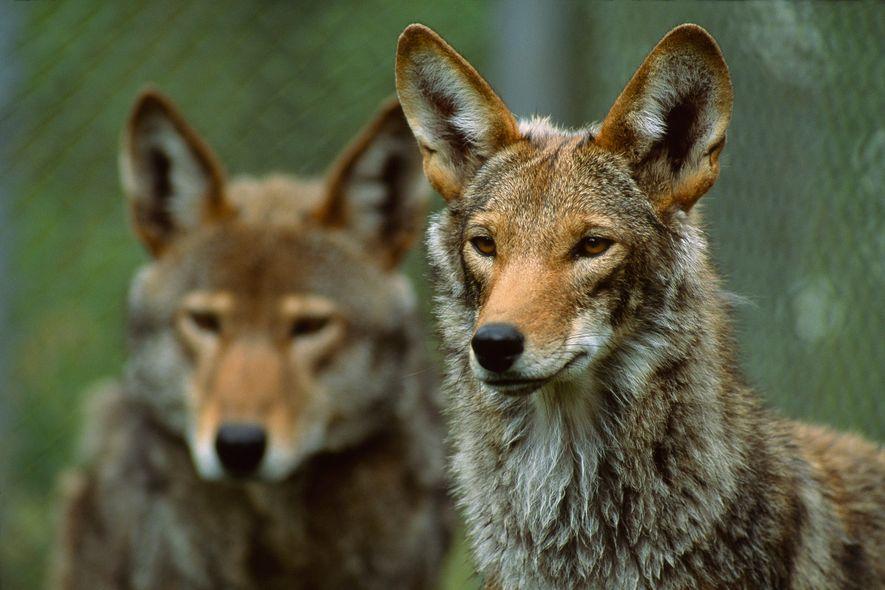 Lobos rojos