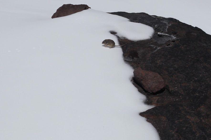 Un pericote panza gris observado por Matt Farson el 22 de enero de 2013 a una ...