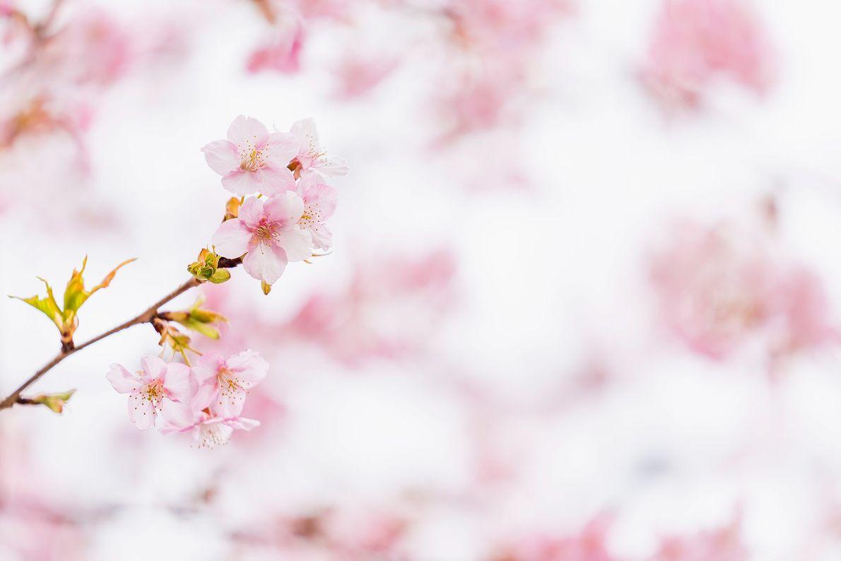 Las flores de los cerezos