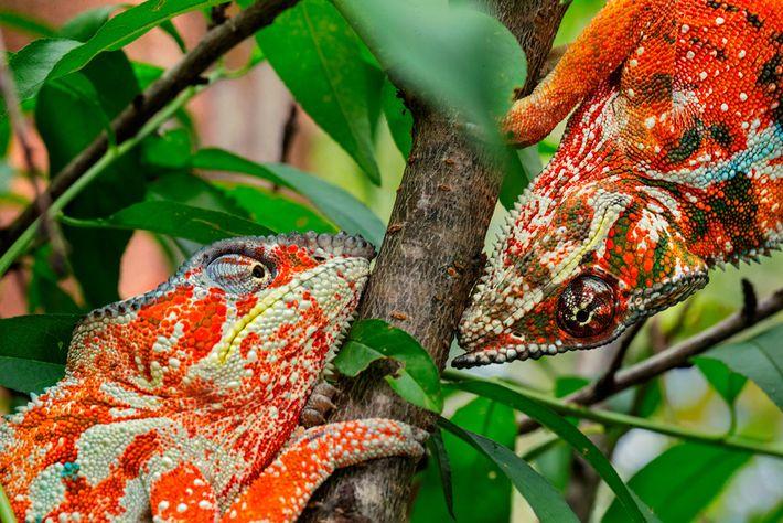Dos camaleones pantera machos