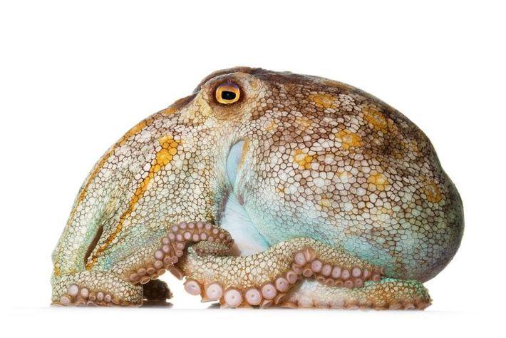 Octopus pallidus