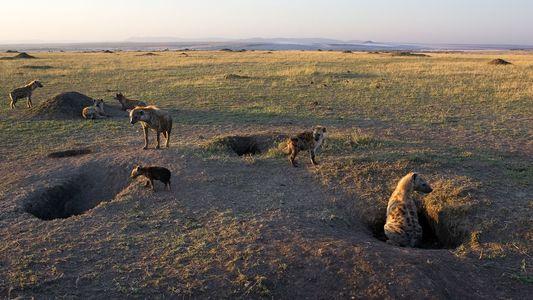 Heces fosilizadas de hienas halladas en el Barranc de la Boella