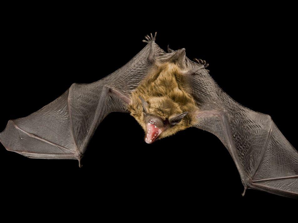 Photo Ark: 16 imágenes de murciélagos