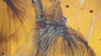 Imágenes del fósil de un ave del Cretácico conservado en ámbar
