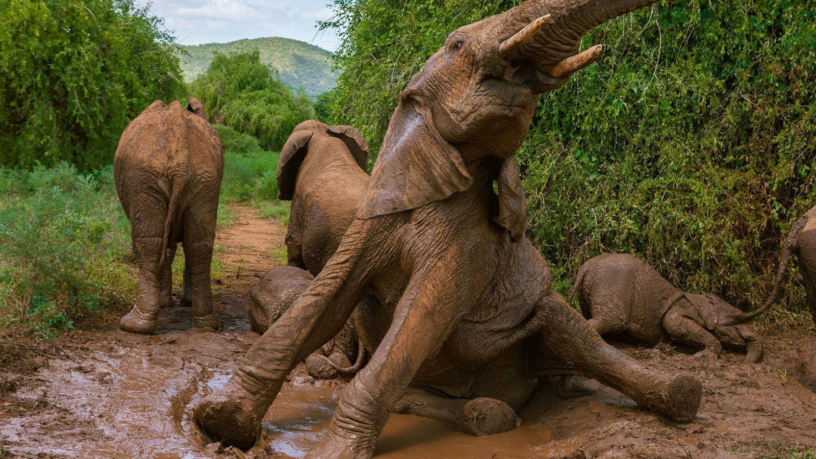 Unos elefantes se bañan en lodo