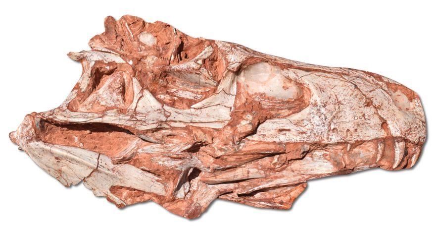 El cráneo del fósil del Gnathovorax se desenterró en la localidad del sur de Brasil de ...