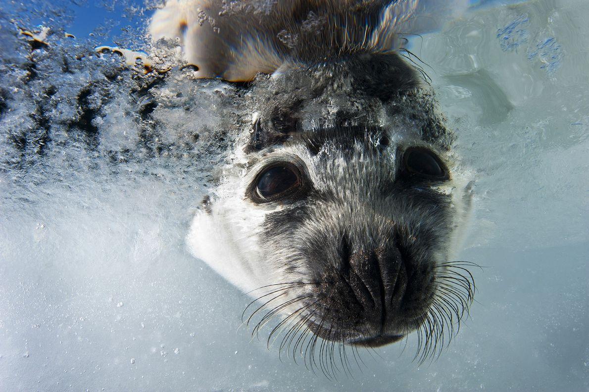 Un cachorro de foca arpa busca a su madre bajo el agua. Este año, Canadá ha …