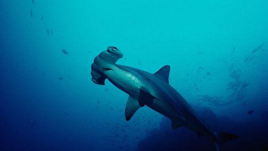 Los tiburones de las Galápagos