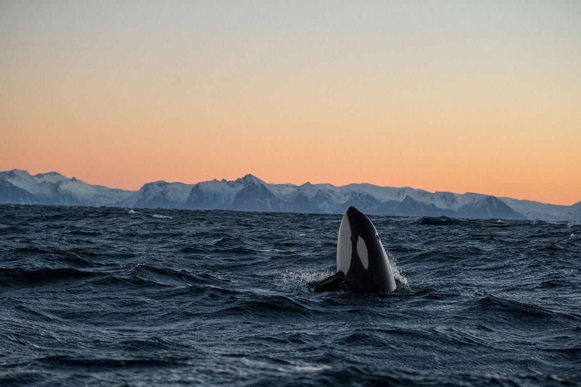 Una orca saca la cabeza