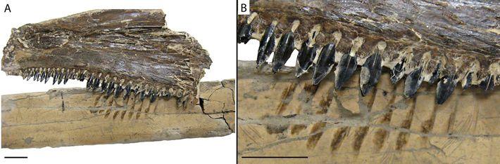Pteranodon junot