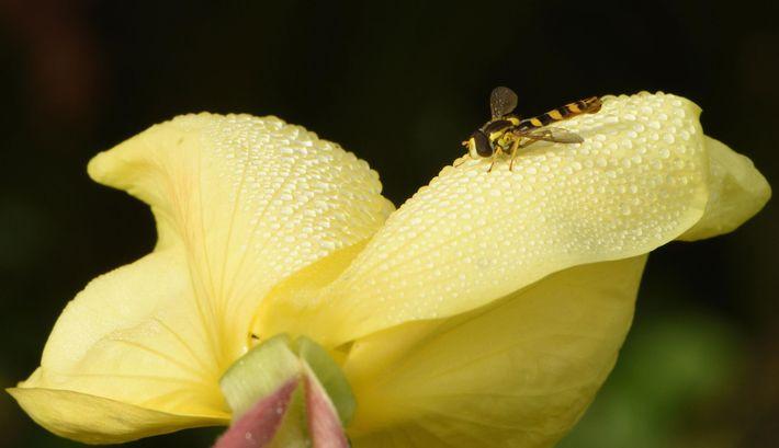 Un sírfido marrón y amarillo