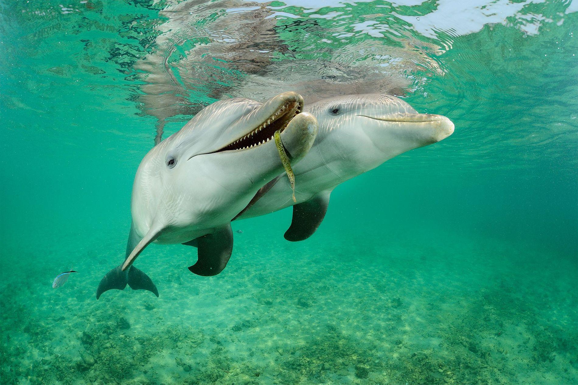 Delfines de nariz de botella