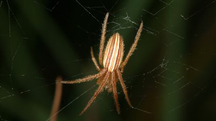 Esta araña castra a sus hembras para prevenir futuros apareamientos