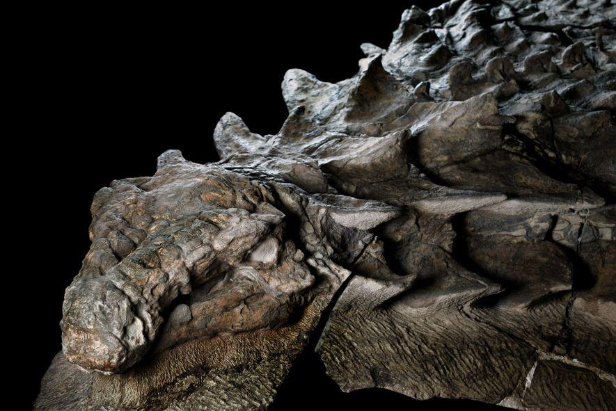 Parte derecha de la cabeza del nodosaurio. Fotografía sacada en el Royal Tyrrell Museum en Drumheller, …